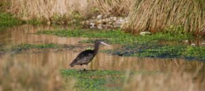 Rarely spotted Glossy Ibis, in Freeman's Marsh, Hungerford Town & Manor