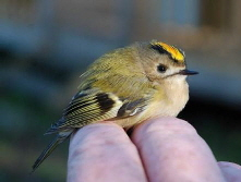 Britain's smallest bird, the tiny Goldcrest, caught in bird ringing at Hungerford Town & Manor