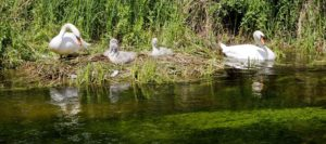 Mute swans with young cygnets on their nest on the river bank, Town and Manor of Hungerford