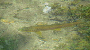 Brown trout in Hungerford Town and Manor waters
