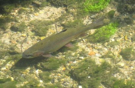 Rainbow trout in Hungerford Town and Manor waters