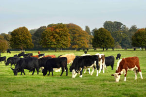 A herd of cattle grazing on Hungerford Common