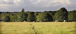 Hungerford Common, with narrow worn path, and views across open grassland to mature trees and grazing cows
