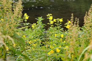 yellow wildflowers beside the river, Town and Manor of Hungerford