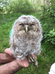 Younger Tawny owlet, ringed in May 2017, photo by Jerry Woodham