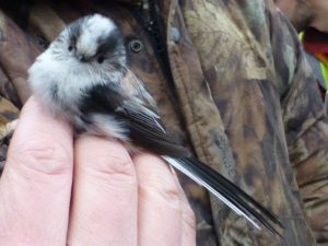 long-tailed tit being carefully held for ringing